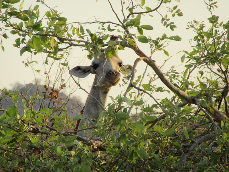 Giraffe eating from the tree tops